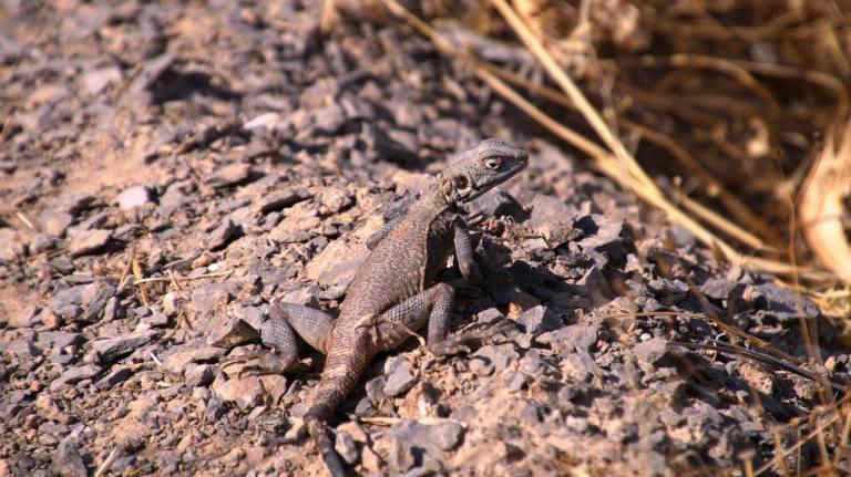 Jaszczurka z Persepolis